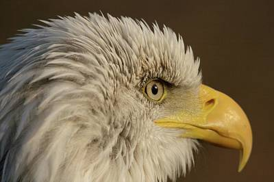 Photograph - American Bald Eagle by Jean-Pierre Heijmann