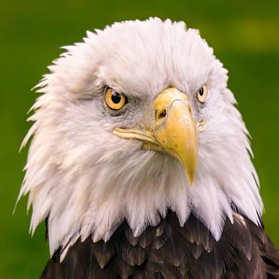 Minnesota Photograph - American Bald Eagle  by Jim Hughes