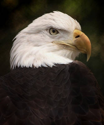 Preditor Photograph - American Bald Eagle by Joseph G Holland