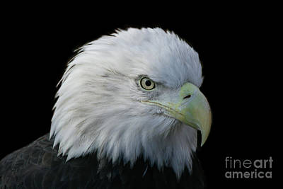 Photograph - American Bald Eagle by Judy Whitton