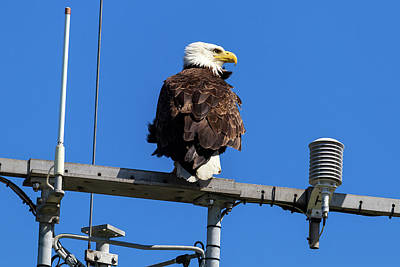 American Bald Eagle On Communication Tower Art Print by David Gn