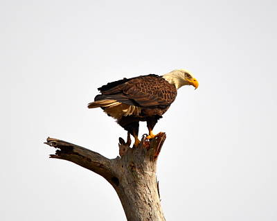 Photograph - American Bald Eagle On Lookout by Carla Parris
