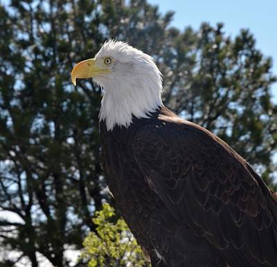 Photograph - American Bald Eagle On The Watch by Richard Bryce and Family