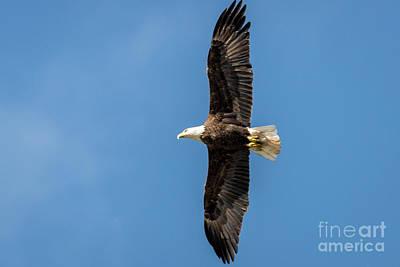 Photograph - American Bald Eagle by Patrick Shupert