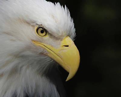 Digital Art - American Bald Eagle Portrait 4 by Ernie Echols