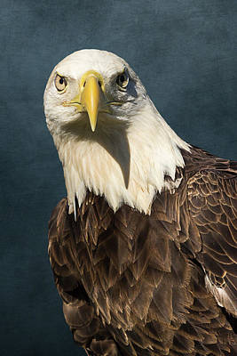 Photograph - American Bald Eagle Portrait II by Dawn Currie