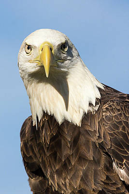 Photograph - American Bald Eagle Portrait - Winged Ambassador by Dawn Currie