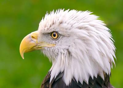 American Bald Eagle Profile Art Print by Jim Hughes