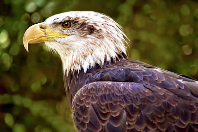 Photograph - American Bald Eagle Profile by Peggy Collins