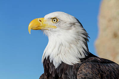 Photograph - American Bald Eagle Profile by Teri Virbickis