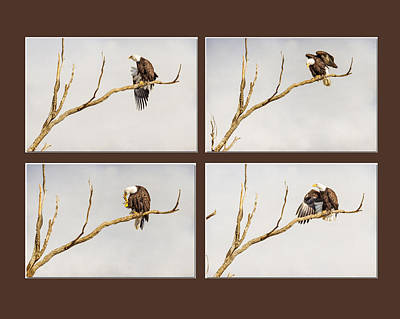 Photograph - American Bald Eagle Progression by James BO  Insogna