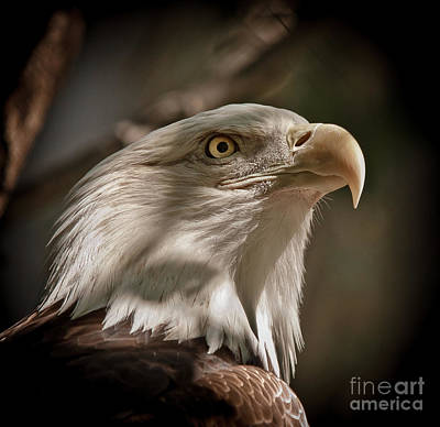 Photograph - American Bald Eagle by Robert Frederick
