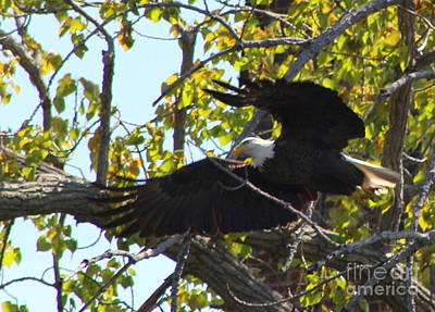 Photograph - American Bald Eagle Starting Flight    by Neal Eslinger