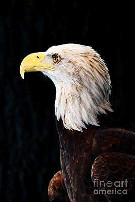 American Bald Eagle Art Print by Stephanie Frey