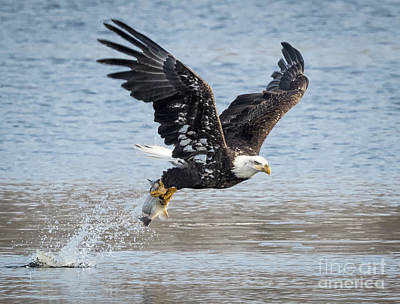 American Bald Eagle Taking Off Art Print by Ricky L Jones