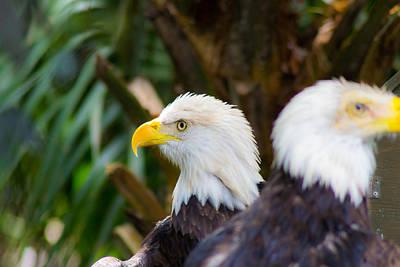 Photograph - American Bald Eagles by Shannon Harrington