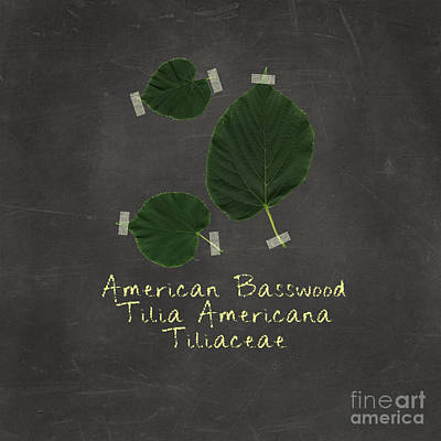 American Basswood Leaves Art Print by Emily Kay
