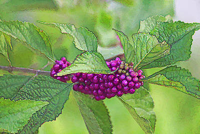 Photograph - American Beautyberry by HH Photography of Florida