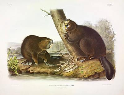 Beavers Wall Art - Painting - American Beaver by John James Audubon