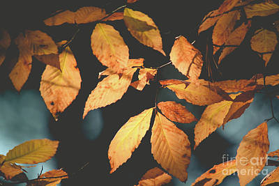 Photograph - American Beech Leaves by Cheryl Baxter