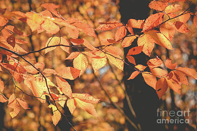 Photograph - American Beech Tree by Cheryl Baxter
