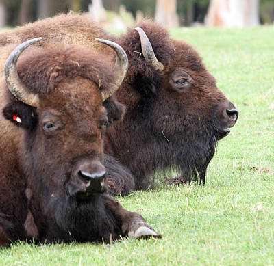 American Bison - Buffalo - 0011 Art Print by S and S Photo