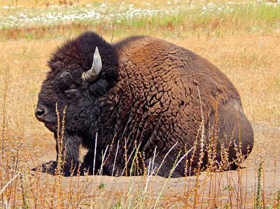 Photograph - American Bison 2 by Dan Miller