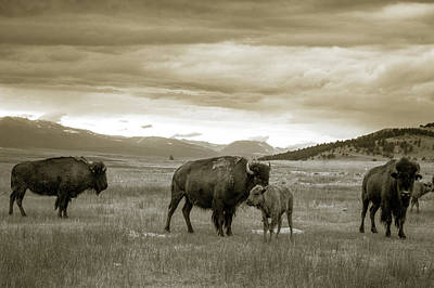 Photograph - American Bison Calf And Cow by Chris Bordeleau