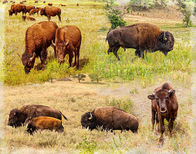 Photograph - American Bison Collage by John M Bailey