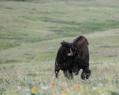 Wall Art - Photograph - American Bison by Diana Marcoux