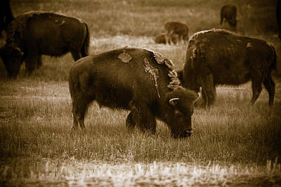 Photograph - American Bison Grazing - Bw by Chris Bordeleau
