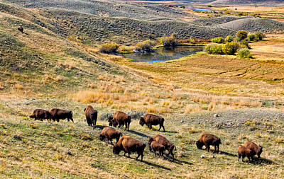 Photograph - American Bison In Autumn by Kathleen Bishop