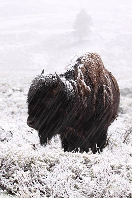 Photograph - American Bison In Snowstorm by Max Allen