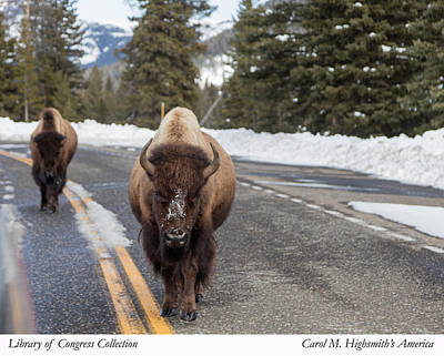 Photograph - American Bison In Yellowstone National Park by Carol M Highsmith