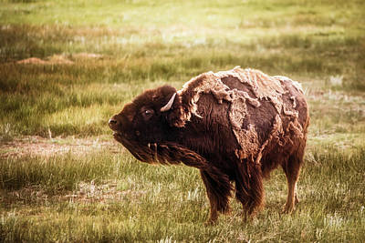 Photograph - American Bison Into The Wind by Chris Bordeleau