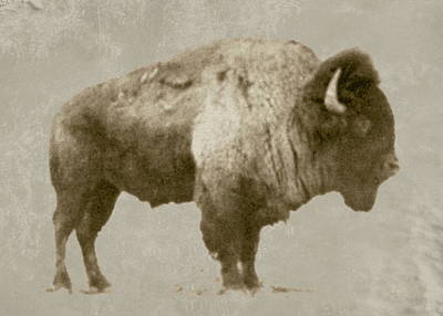Photograph - American Bison by Jim Sauchyn