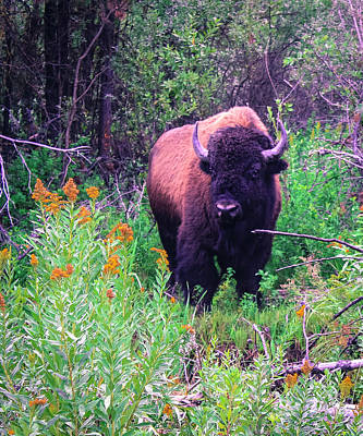 American  Bison Art Print by M Images Fine Art Photography and Artwork