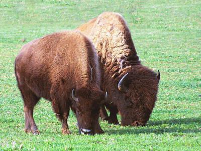 American Bison Photo Original by Linda Phelps