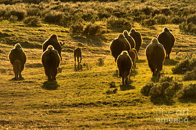 Photograph - American Bison Sunset March by Adam Jewell