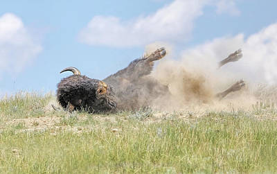 Photograph - American Bison Taking A Dirt Bath by Jennie Marie Schell