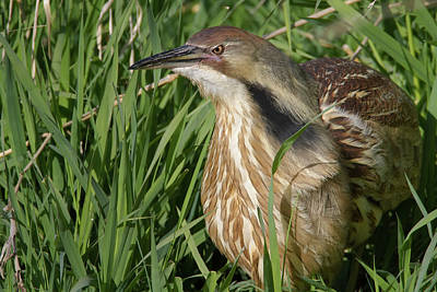 Photograph - American Bittern by Craig Strand