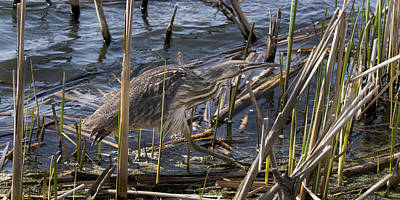 Photograph - American Bittern by Don Anderson