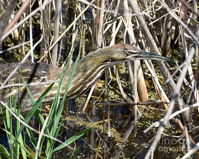 Photograph - American Bittern Focused by Kathy M Krause