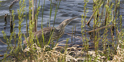 Photograph - American Bittern Hunting by Don Anderson