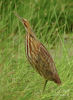 Cabin Window Photograph - American Bittern Looking Up by Robert Frederick