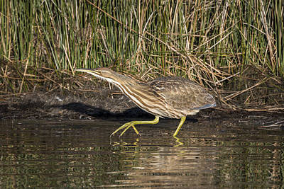 Photograph - American Bittern On The Prowl by Liza Eckardt