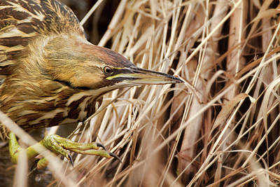 Photograph - American Bittern Stalking by Craig Strand