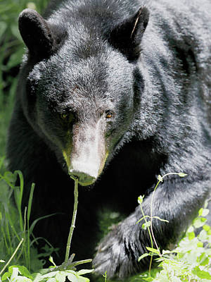 Photograph - American Black Bear by Nicholas Blackwell