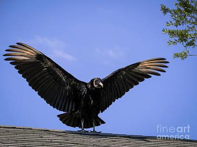 Florida Birds Photograph - American Black Vulture by Zina Stromberg