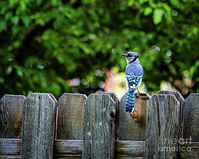 Photograph - American Blue Jay by Jon Burch Photography